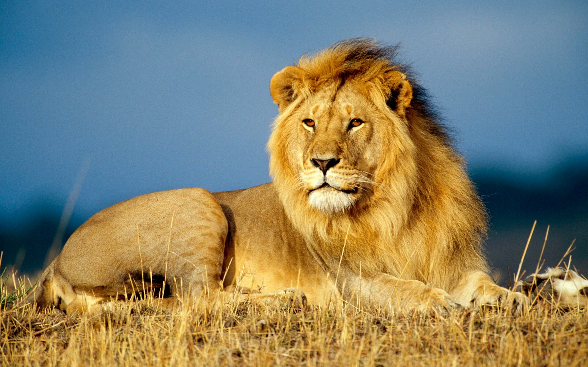 Amazing facts about Lion