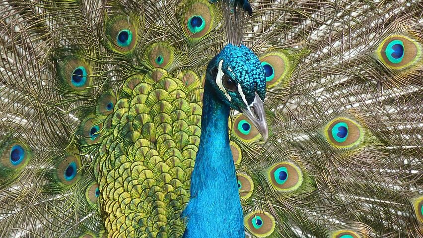 Amazing facts about peacock